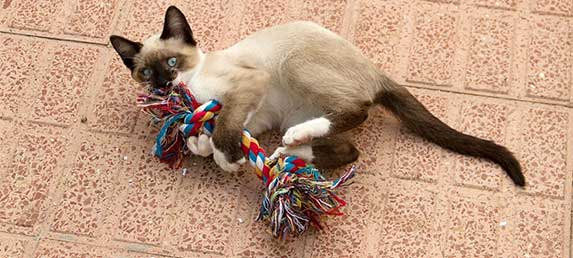 siamese playing