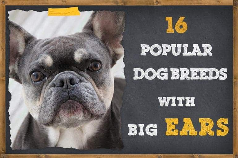 Popular Dog Breeds With Big Ears