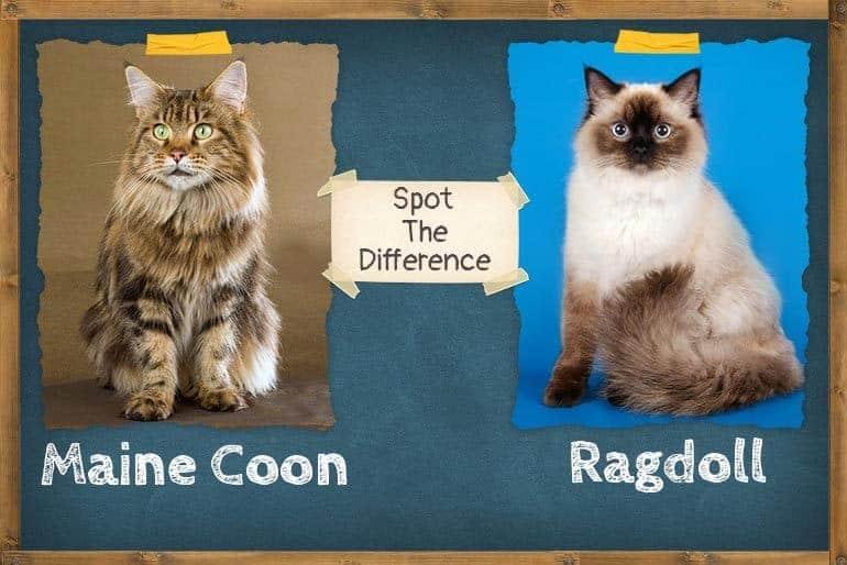 Ragdoll vs Maine Coon