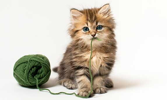 kitten with string in mouth