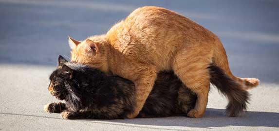 Cat mating