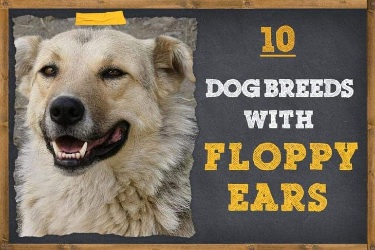 Exquisite Dog Breeds With Floppy Ears