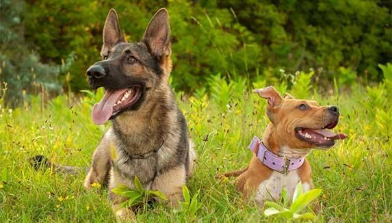 German Shepherd and pitbull