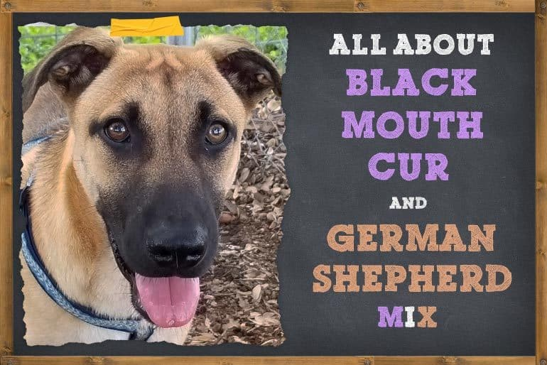 Black Mouth Cur German Shepherd Mix