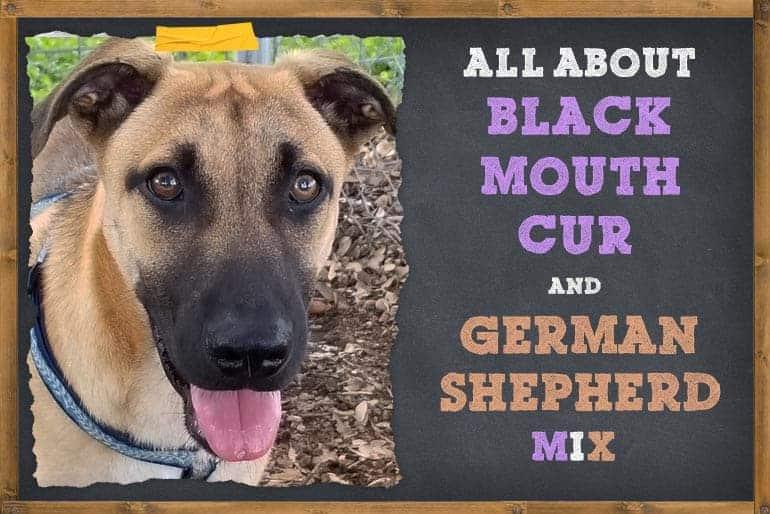 Black Mouth Cur German Shepherd Mix