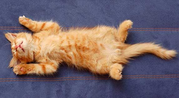 cat lying down belly up
