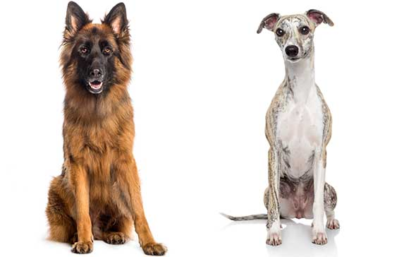 german shepherd and whippet