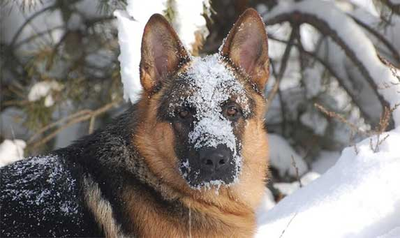 german shepherd covered in snow