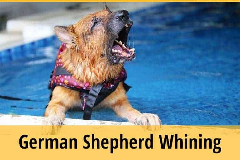 German Shepherd Whining
