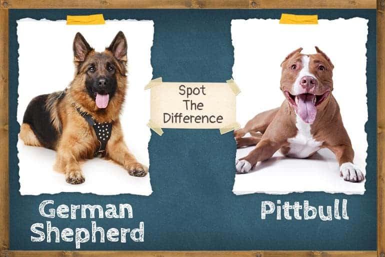 German shepherd vs pitbull