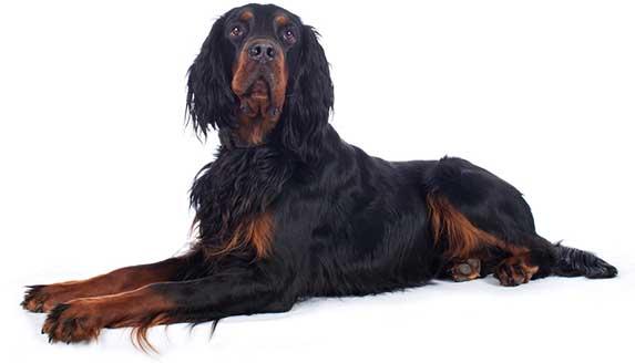 Gordon Setter dog