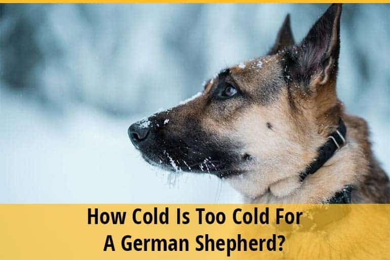 How Cold Is Too Cold For a German Shepherd