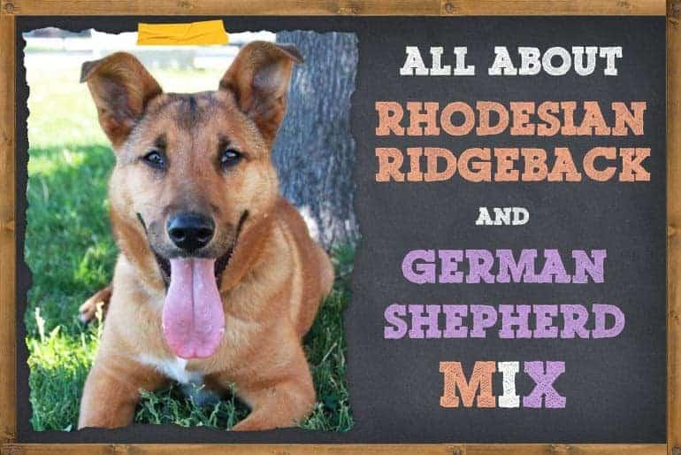 Rhodesian Ridgeback German Shepherd Mix