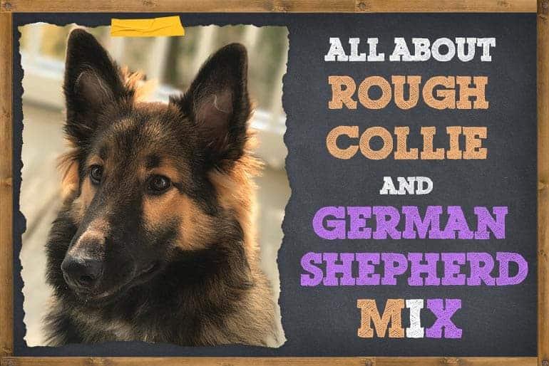 Rough Collie German Shepherd Mix