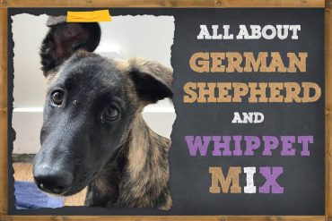 German shepherd and whippet mix