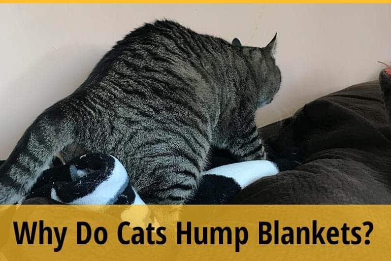 Why Do Cats Hump Blankets