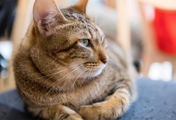cat sphinx pose
