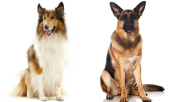 german shepherd and rough collie