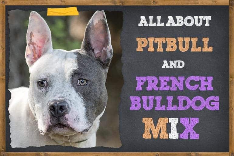 All About French Bulldog and Pitbull Mix