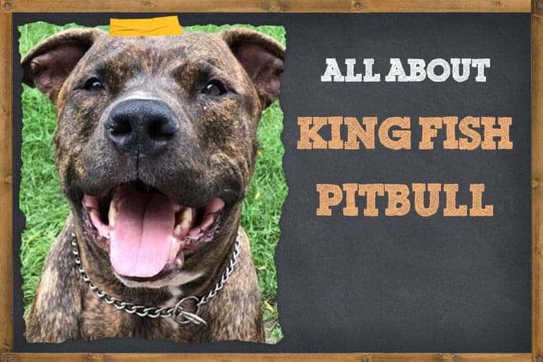 All about kingfish pitbull