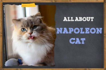 All About napoleon cat