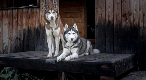 two husky sitting