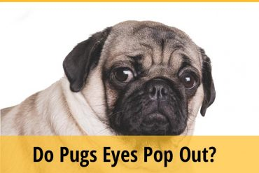 Do Pugs Eyes Pop Out
