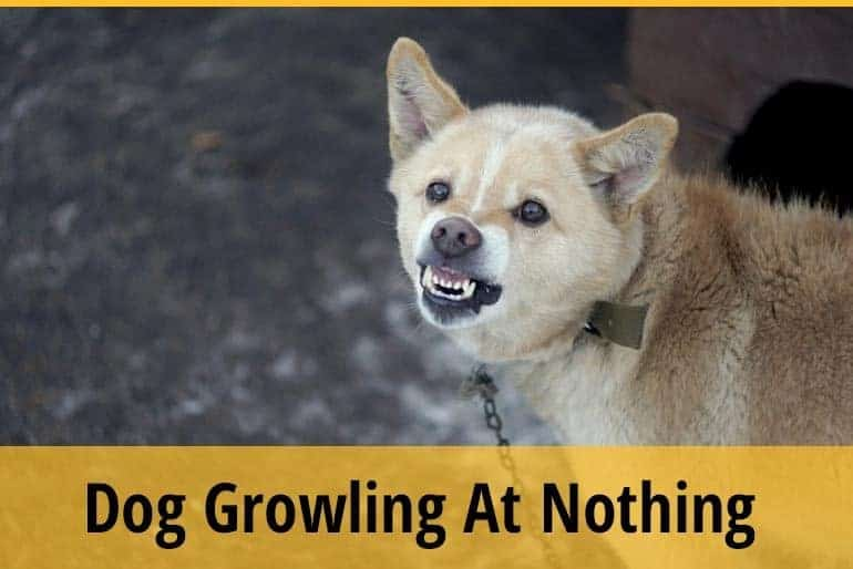 Dog Growling At Nothing