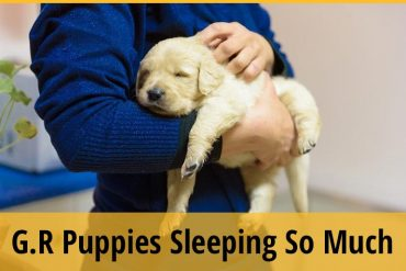 Golden Retriever Puppies Sleeping So Much