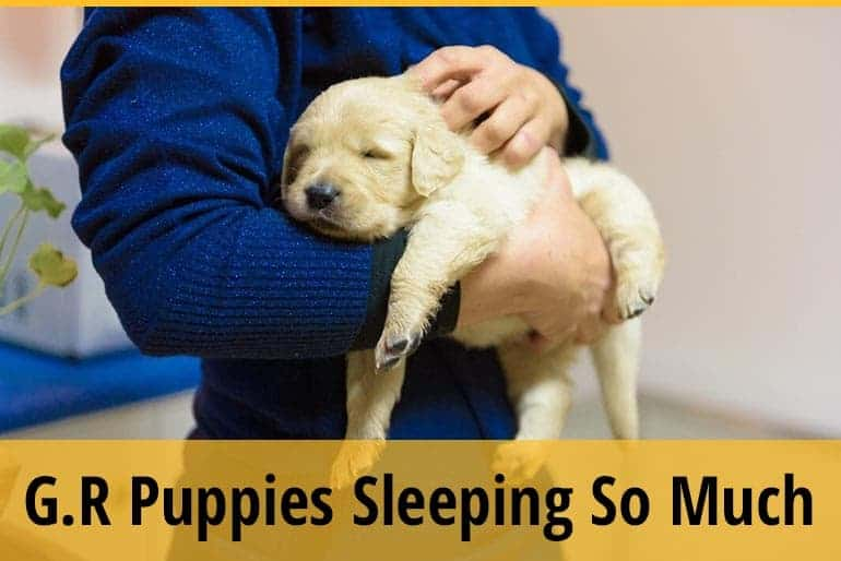Golden Retriever Puppies Sleeping So Much