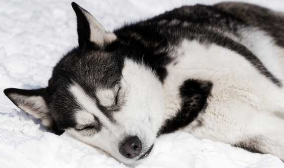 husky eyes closed