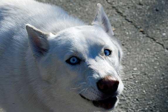 white husky with blue eyes