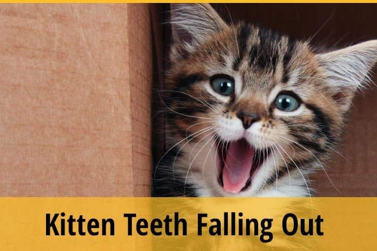 Kitten teeth falling out
