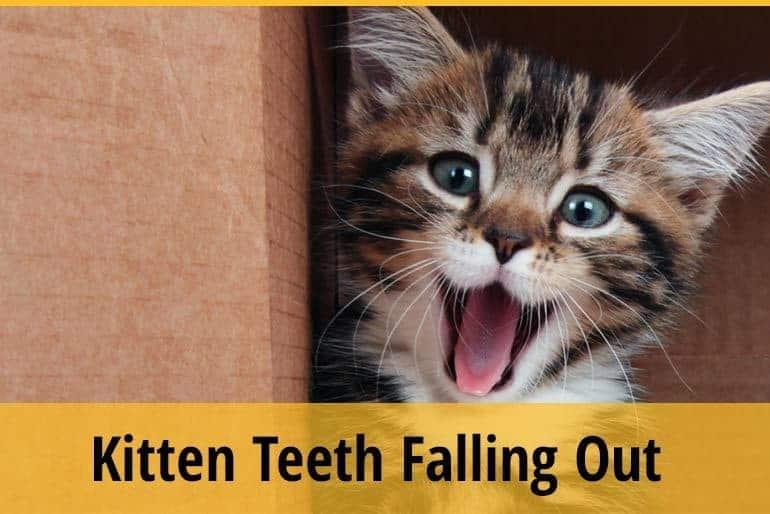 Kitten teeth falling out