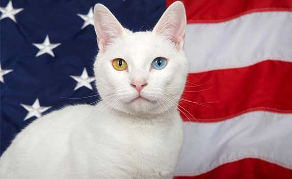 White cat in fornt of US flag