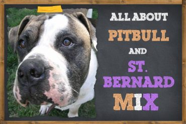 Pit Bull St. Bernard Mix-Things To Know About