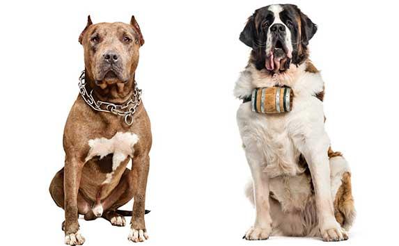pitbull and st bernard