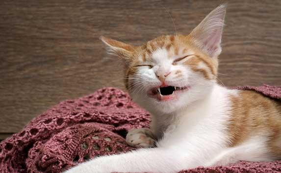 Symptoms of teething in kittens
