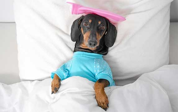 dog with icebag on head