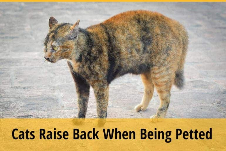 Why Do Cats Raise Their Backs When You Pet Them