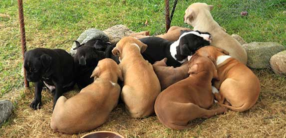 group of pitbull puppies