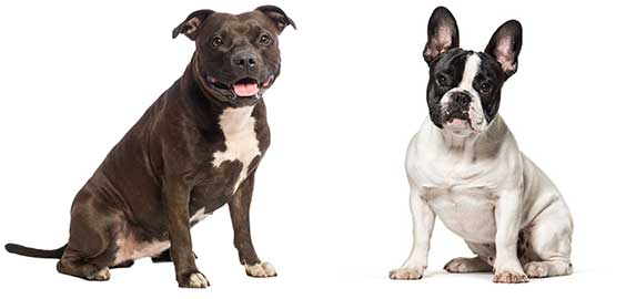 pitbull and french bulldog origin