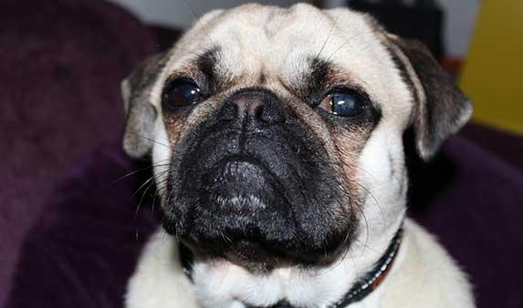 pug with eye infection
