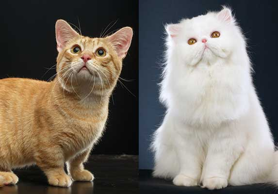 munchkin and persian cat
