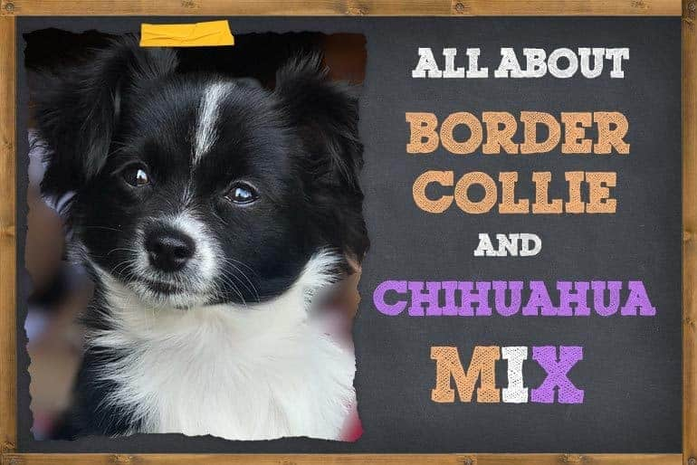 7 Things To Know About Border Collie Chihuahua Mix
