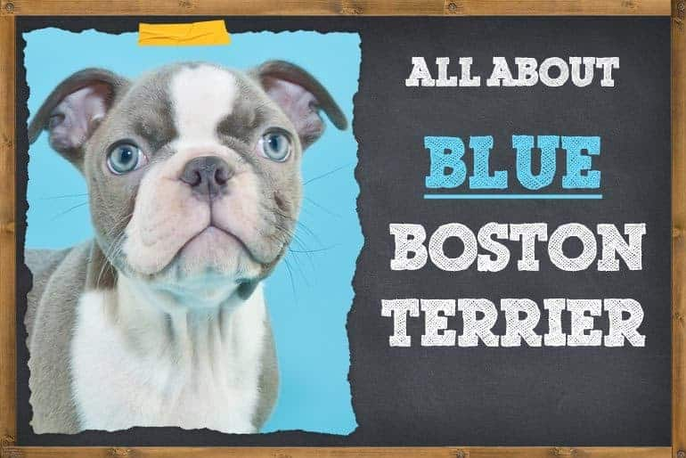 All About Blue Boston Terrier