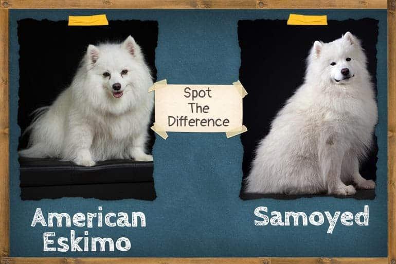 American Eskimo Vs Samoyed- Spot The Difference