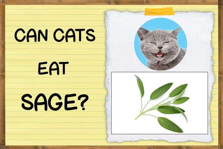 Can cats eat sage