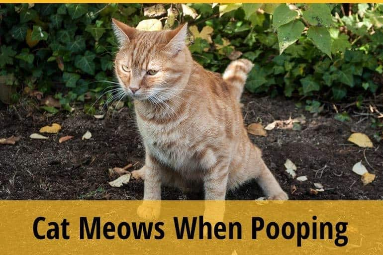 Cat Meows When Pooping-
