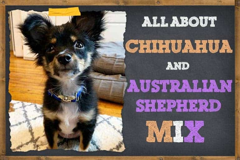 7 Things To Know About Chihuahua Australian Shepherd Mix